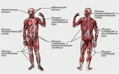Нормализация тонуса гладких мышц